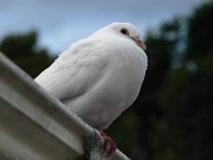 Dotti the dove