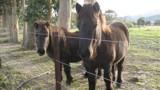 Horses or ponies?