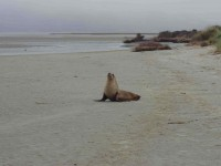 Sea lion left bank of inlet (Bruce pic and caption)